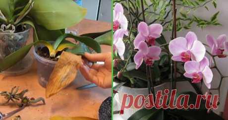 Шикарный витаминный коктейль для капризных орхидей – учимся правильно реанимировать цветок.