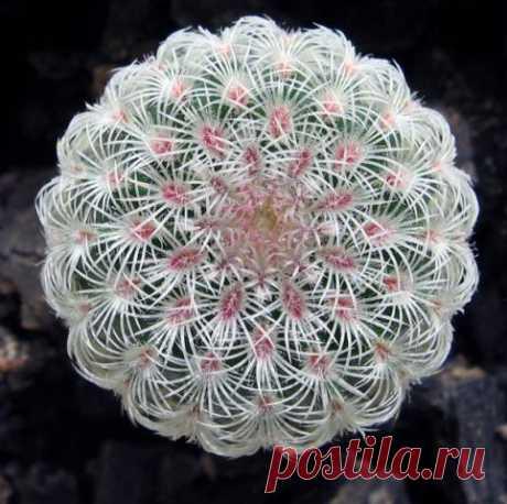 Кактус - форум -> Галерея -> Просмотр изображения -> Echinocereus rigidissimus
