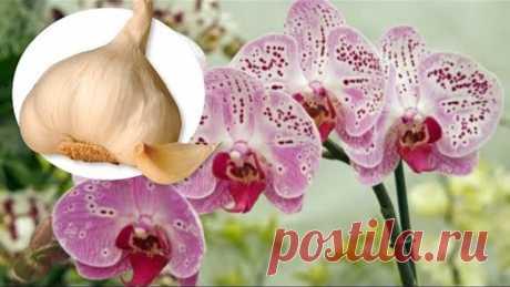 Чеснок — спасение для орхидей! Через месяц мой Фаленопсис выпустил несколько