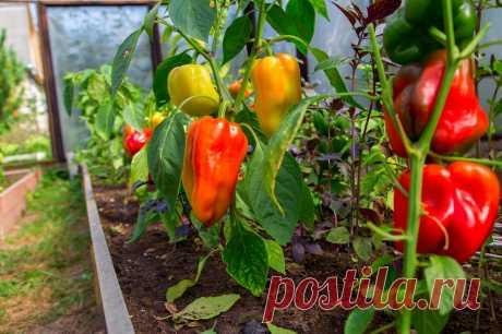 Как поливать перец: 6 правил для хорошего урожая   Огород на подоконнике   Яндекс Дзен