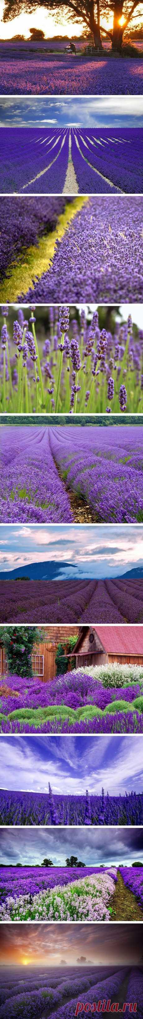 Los campos de espliego de Provence, Francia