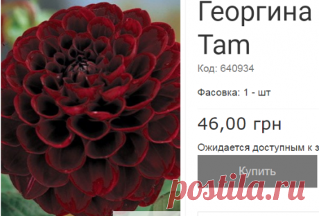 Георгина шаровидная Tam Tam 1 шт купить семена почтой - - Каталог из газеты №1 2018. Сельский Вестник.