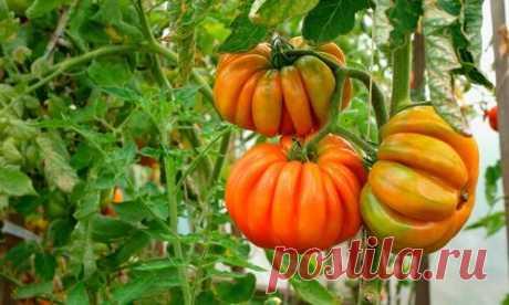Выращивание томатов: главные ошибки и способы их решения