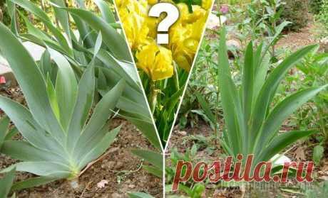 Why irises do not blossom?