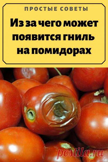 Из за чего может появится гниль на помидорах.Увидев вершинную гниль на томатах, садоводы расстраиваются, думая что это заболевание, которое может испортить весь урожай. Но давайте разберёмся, что же это такое и стоит ли этого боятся?