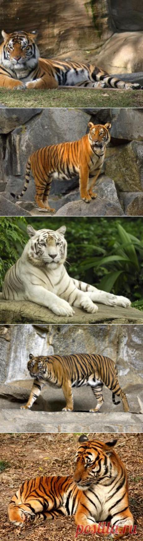 Смотреть изображения тигров | Зооляндия