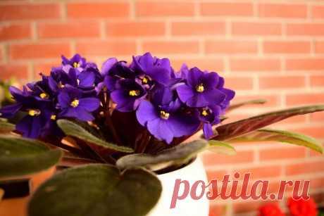 Фиалки в доме – какие приметы с ними связаны  Не так давно фиалка только приобрела известность, и сразу же стала любимицей среди цветоводов. Теперь этот маленький, милый и нежный цветок часто выращивается в домашних условиях. Сегодня это растени…