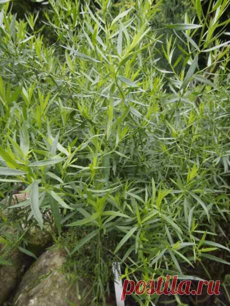 Выращиваем тархун