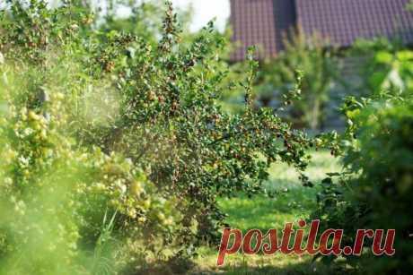 5 ягодных кустарников, на которых обязательно поселится тля | 6 соток