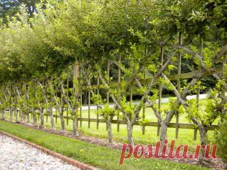 Сад на шпалере - Дачный участок - медиаплатформа МирТесен