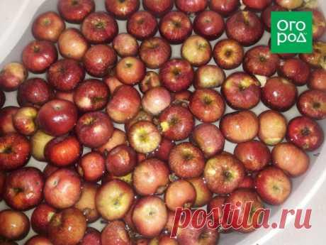Что делать, если у вас два мешка яблок? Мастер-класс по приготовлению яблочного вина   Статьи (Огород.ru)