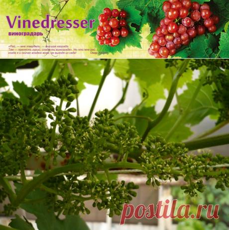 Уход за виноградником весной. Календарь работ