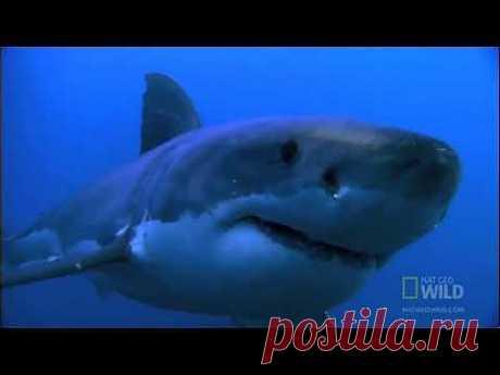 Большая белая акула (лат. Carcharodon carcharias) - YouTube