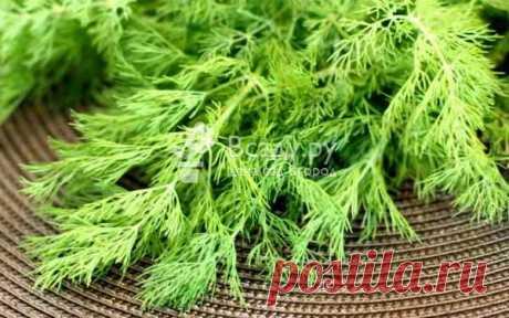 Выращиваем укроп без зонтика: сроки, сорта, посев Выращивание укропа на зелень без зонтика. Какой выбрать сорт укропа на зелень. Как и когда посеять укроп, чтобы зонтик образовался только в конце лета