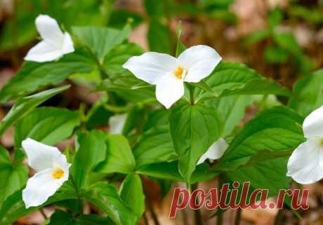 Три́ллиум камча́тский (лат. Tríllium camschatcénse)  |  Ботанический сад • Тверь - Публикации