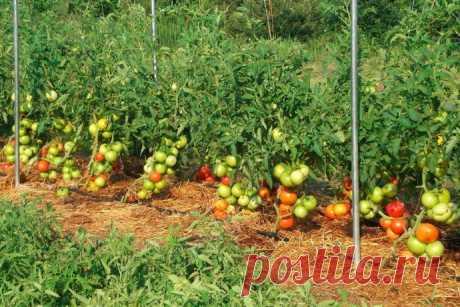 Как правильно формировать помидоры?