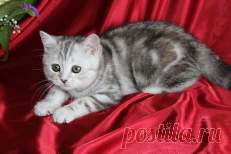 Шотландская чистокровная кошка 3 мес.