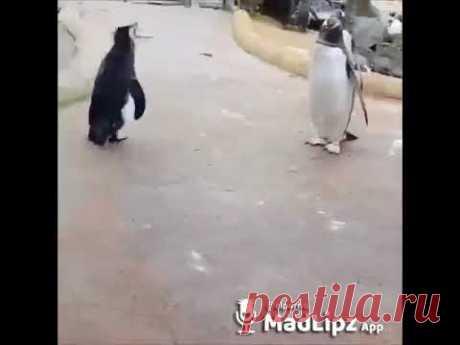 Забавный пингвин - Видео