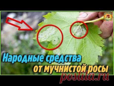 Как избавиться от мучнистой росы на растениях. Самые лучшие народные средства - YouTube