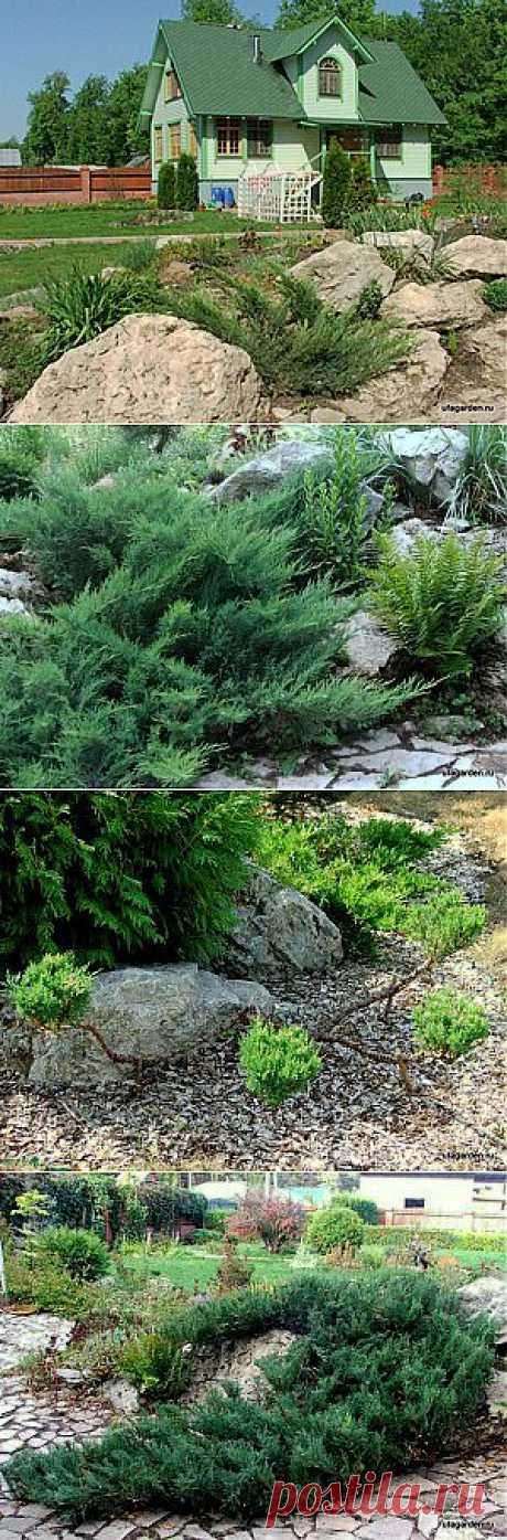 Можжевельник казацкий | Дачная жизнь - сад, огород, дача