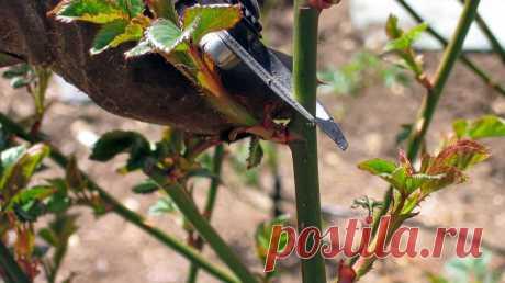 Обрезаю розу к зиме только одним способом - куст обновляется и разрастается лучше | Добрый дачник | Яндекс Дзен