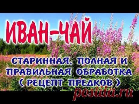 El EPILOBIO el TÉ KOPORSKY. El acopio, la preparación, la fermentación y el freír ivan del té.