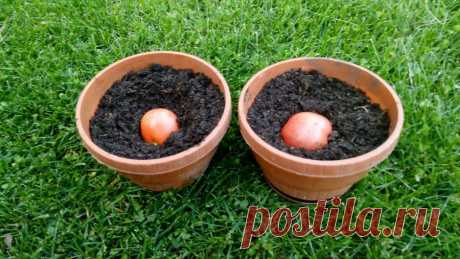 Высеваю озимые помидоры осенью целыми плодами — в горшки с землей и обхожусь без рассады на окнах   Собираем урожай   Яндекс Дзен