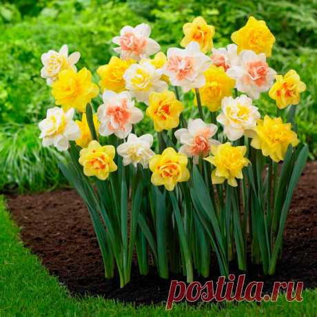 Многолетний садовый цветок Нарцисс (Narcissus). Семейство: амариллисовые (Amarillidaceae)  Луковичный травянистый многолетник. Луковица округло-яйцевидная, диаметром 2-5 см. Цветонос безлистный высотой от 15 до 50 см. Цветки поникающие или прямостоячие, диаметром 2-10 см, белые, желтые, кремовые, розовые, оранжевые или двухцветные, различной конфигурации, с приятным ароматом. Цветет в апреле - мае.  Основные виды Н.гибридный (N.hybridum) объединяет почти 12 000 сортов...