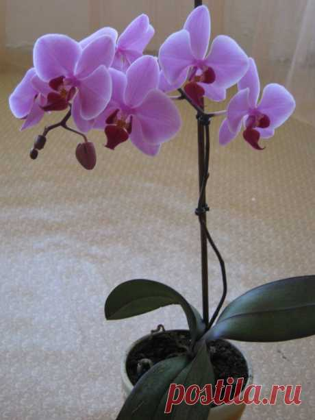 Орхидея домашняя – уход