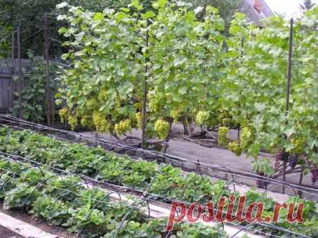 Какие растения нельзя выращивать рядом: губительное соседство Небольшой обзор совместимости огородных культур. Какие растения задерживают рост соседей, а какие благотворно влияют на развитие друг друга.