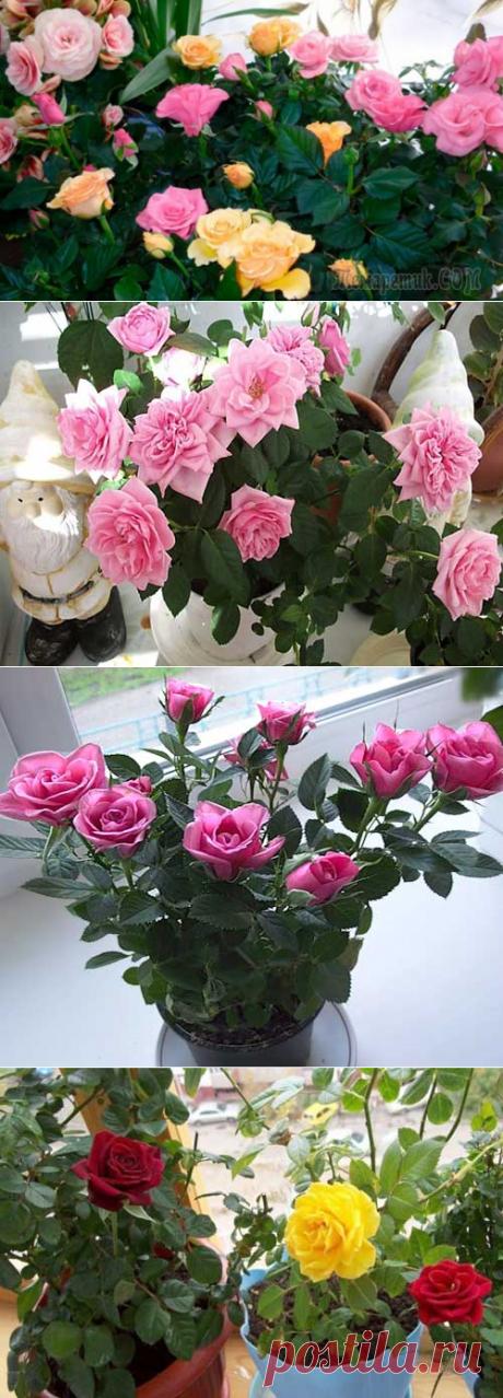 Уход за комнатной (миниатюрной) розой