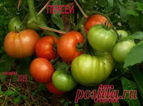 Мои самые урожайные томаты 2018-2019 г.