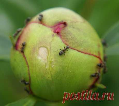 Как избавиться от муравьев на пионах - Садоводка