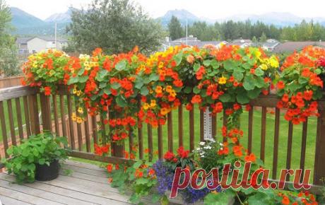 Цветы-клумбы и цветы-букеты: какие однолетники дают пышные кусты, усыпанные бутонами | уДачный проект | Яндекс Дзен