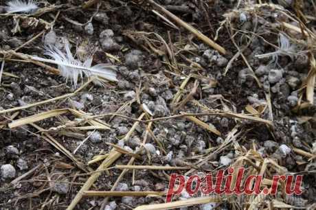 Куриный помет в качестве удобрения Куриный помет — это сильнодействующее органическое удобрение, способное усиливать биопроцессы в грунте, направленные на насыщение растений углекислым газом. Применение навоза должно проводиться остор...