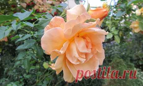 Roses in the fall: leaving and preparation for winter shelter