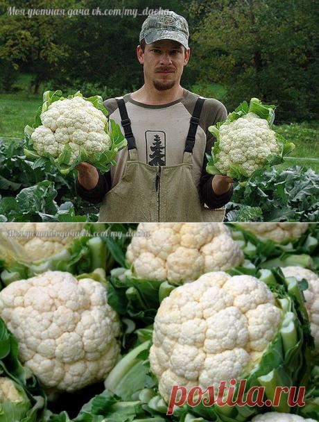 Как же правильно выращивать цветную капусту?