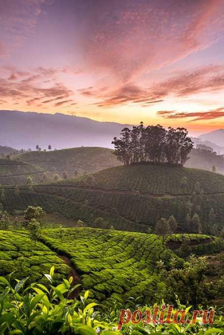 La foto del día. Las plantaciones de té en el sur de India.