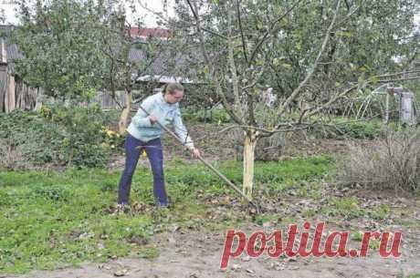 Чем подкормить яблоню и грушу осенью для лучшей зимовки и богатого урожая | Яблоня, груша (Огород.ru)