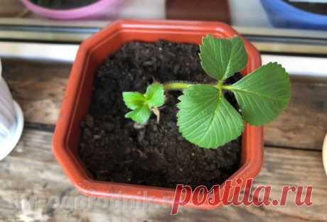 Выращивание клубники в квартире круглый год - рекомендации