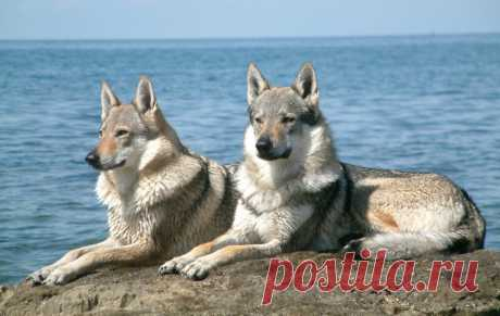 «Чехословацкая волчья собака» — карточка пользователя Валентина в Яндекс.Коллекциях