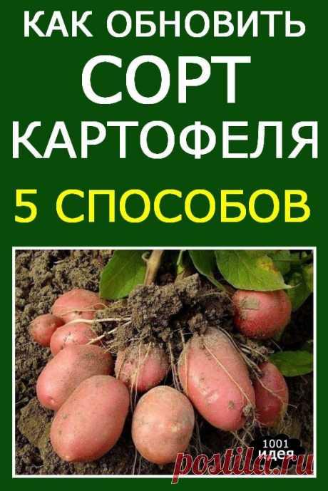 Как обновить сорт картофеля: 5 способов | Тысяча и одна идея