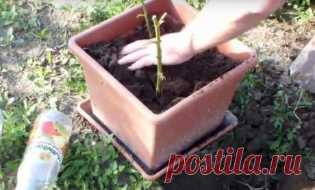 Выращивание розы с помощью картофелины — Полезные советы