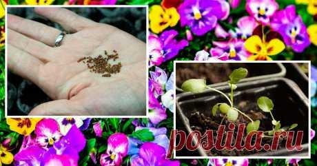Виола из семян – все о выращивании рассады, посадке и уходе в открытом грунте Посадка виолы на рассаду – увлекательное занятие, с которым справятся даже новички.