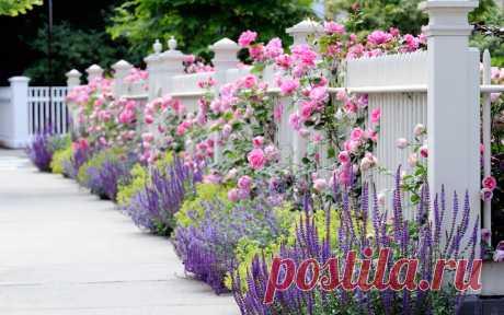 Похожа на лаванду, цветёт всё лето! | Загородные идеи | Яндекс Дзен
