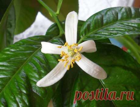 Комнатный лимон — выращивание и уход