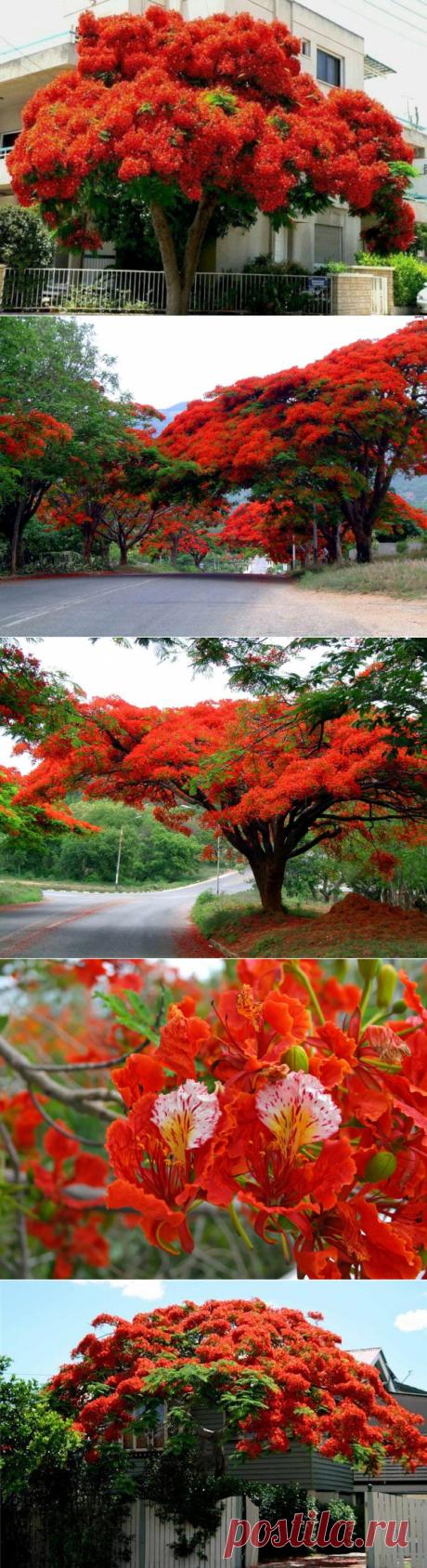 Делоникс королевский или Огненное дерево - дерево родом с Мадагаскара семейства Бобовые, подсемейство Цезальпиниевые. Как это дерево только ни называют: дерево-пожар, пламенное дерево, хвост Феникса, огненное дерево, дерево-пламя. И действительно, дерево выглядит именно так, благодаря ярко-красным цветам