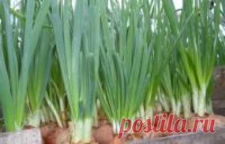 Выращивание зелёного лука. Подкормка лука Для получения зелёного лука хороши такие виды лука, как: Лук-батун– у него ровная зелень, а посадочный материал дешевле, чемлук-репка. Луковицу он н...