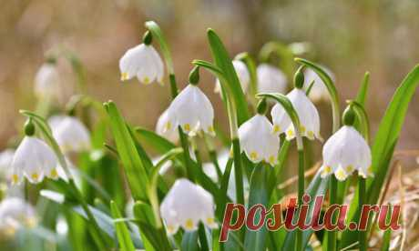 Белоцветники: виды, описание, фото. Посадка и размножение