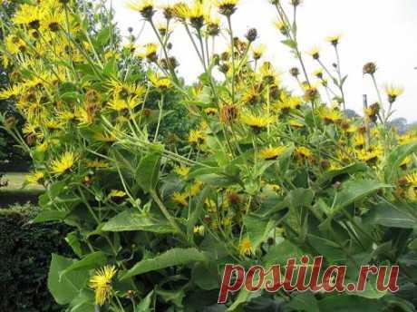 (Inula heleneium L.) – многолетник. Лечит семь недугов. Мочегонное, антисептическое, желтуха, диабет, водянка, желчегонное, гипертония.